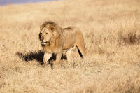 Male Lion in the Ngorongoro Crater in Tanzania