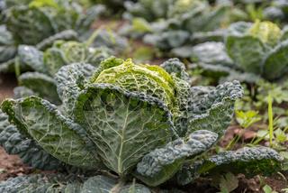 Wirsing zur Erntezeit - Kopfkohl im landwirtschaftlichen Gemüseanbau