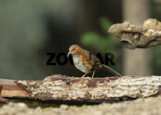 Rusty-cheeked scimitar babbler, Pomatorhinus erythrogenys, Sattal, India
