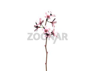 blühender Kirsch Zweig mit rosa Blütenblättern