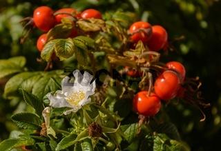 Hagebutte blühend mit zahlreichen Früchten - Nahaufnahme