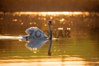 common big bird mute swan on evening pond
