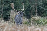 Fallow Deer buck in early winter