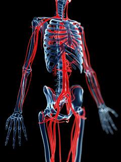 3d rendered medical illustration - blood vessels and skeleton