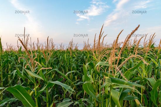 Beautiful green corn field on a sunny summer day with blue sky. Cornfield on a sunny summer day