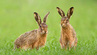 Two brown hares sitting in green grass on a meadow in springtime.