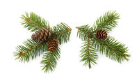 Two fresh fir branches with cones