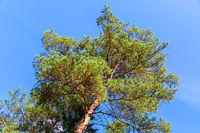 Crowns of tall pine trees above head in the forest