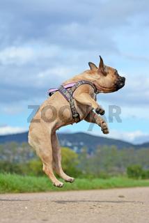 Athletischer Hund der Rasse 'Französische Bulldogge' springt in die Luft