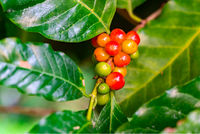 Closeup of arabica coffee fruits.