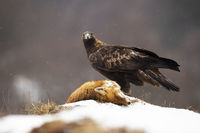 Golden eagle looking to the camera on meadow in winter.