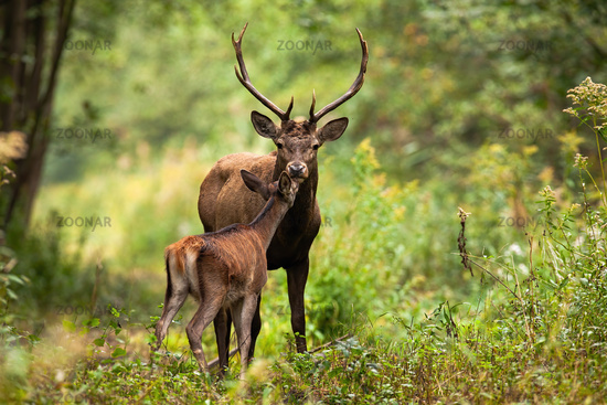 Couple red deer kissing in forest in summer nature