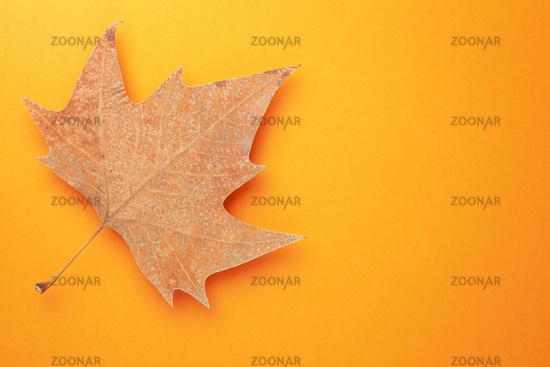 Single Autumn Leaf Over Orange Background