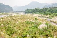 wild sugarcane grass