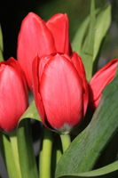 Red tulips portrait format
