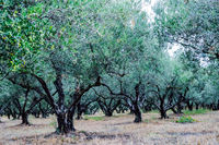 Olive plantation in Crete, the island of olive trees,