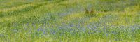grain field with many blue cornflowers