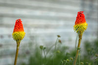 Two red-hot pocker (kniphofia) flowers blooming