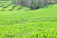 Rice terraces snatched from the rainforest in Flores Indonesia
