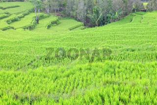 dem Regenwald entrissen Reisterrassen in Flores Indonesien
