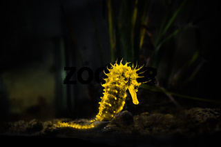 yellow glowing seahorse (Hippocampus) swimming on black.