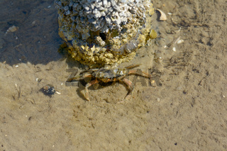 Strandkrabbe (Carcinus maenas)an der Nordsee,Nordfriesland,Deutschland