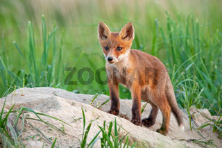 Charming red fox cub standing on a sandy hill near burrow and looking