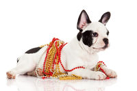 Adorable  French Bulldog  wearing  jewelery on whi