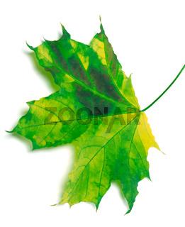 Multicolor maple-leaf