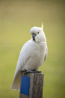 Cockatoo sitting on a timber fence post