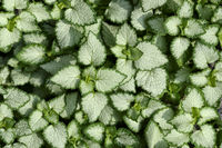 Silvery white with green edges leaves of Lamium maculatum - natural background