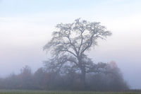 Old tree in the mist on a morning in Bavaria