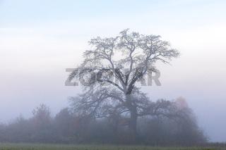 Alter Baum im Nebel an einem Morgen in Bayern