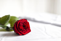 red rose on a bed on Valentine's day