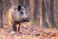 Adult wild boar walking through the sunny forest in autumn and sniffing