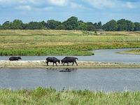 Water buffalos (Bubalus arnee) in Schleswig-Holstein, Germany, Europe