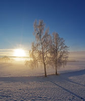 Winter morning mood with birch trees