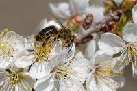 Biene bestaeubt Sauerkirschen
