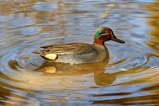 eurasian green-winged teal