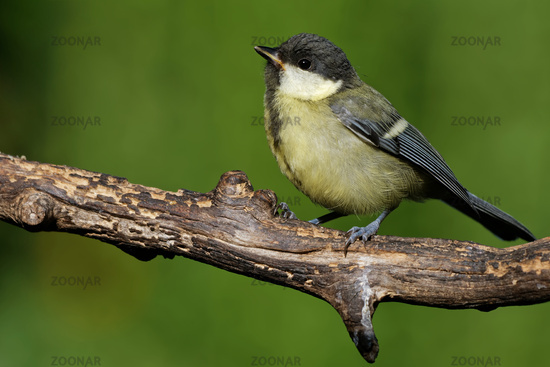 Juvenile great tit in the garden