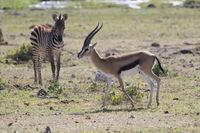 Thompsons gazelle male walking across the dry savannah