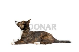 Brindle and white Cardigan Welsh Corgi dog