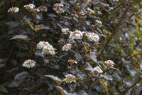 Blühender Teufelsstrauch (Physocarpus opulifolius) im Garten