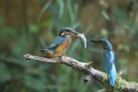 Common Kingfisher (Alcedo atthis), Eurasian kingfisher Germany