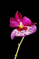 Blossom of Orchid plant with stem on black wet