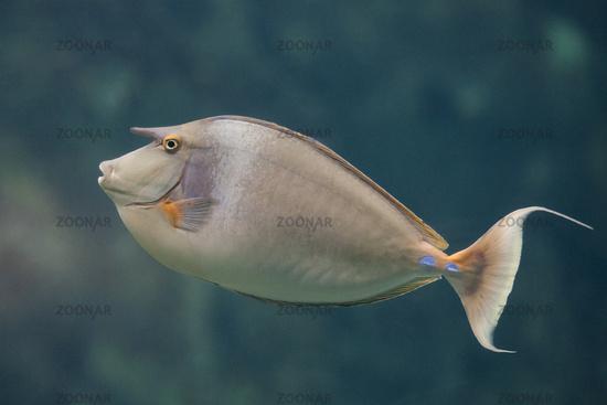 Bluespine unicornfish, Short-nose unicornfish