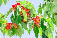 Vibrant white rainier cherry berry bunches