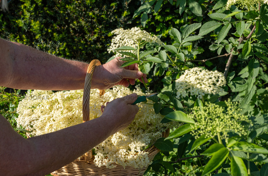 Fresh elderberry blossoms are cut from the elderberry bush with garden shears to make elderberry flower syrup, jelly and elderberry flower liqueur