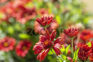 Sommerliches Blütenmeer - Roter Sonnenhut