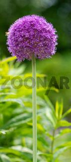 Giant onion, Allium giganteum